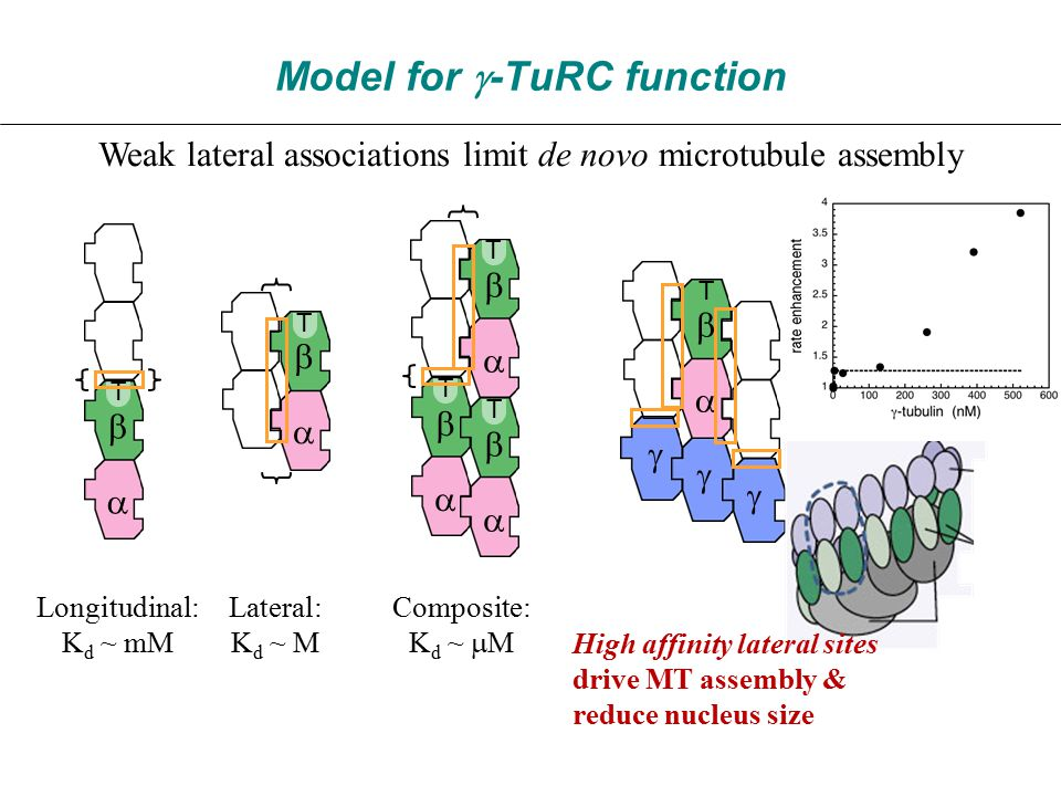 Model for  -TuRC function Weak lateral associations limit de novo microtubule assembly Longitudinal: K d ~ mM T   Lateral: K d ~ M T   Composite: K d ~  M T T T       T      High affinity lateral sites drive MT assembly & reduce nucleus size