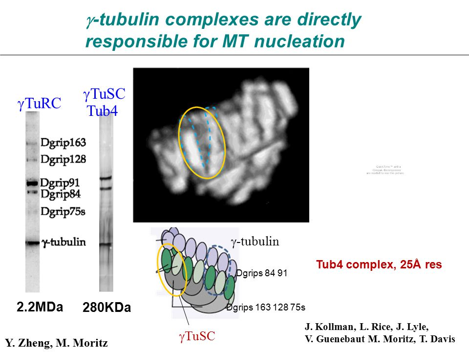  -tubulin complexes are directly responsible for MT nucleation J.
