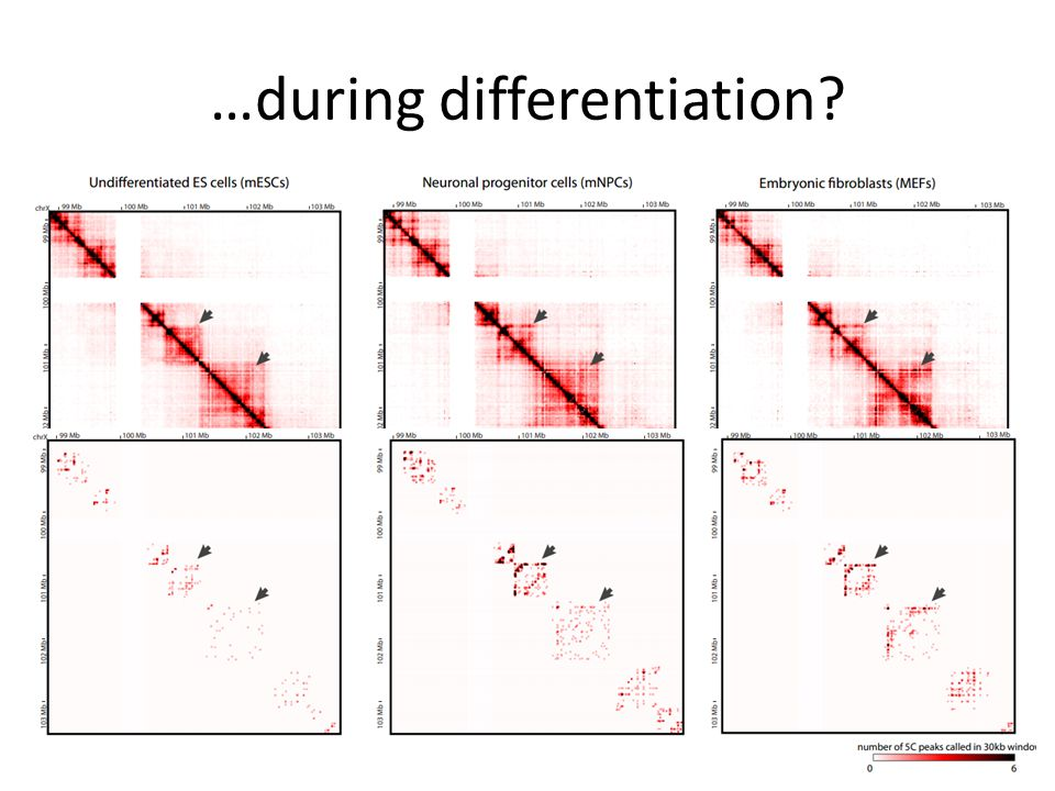 …during differentiation