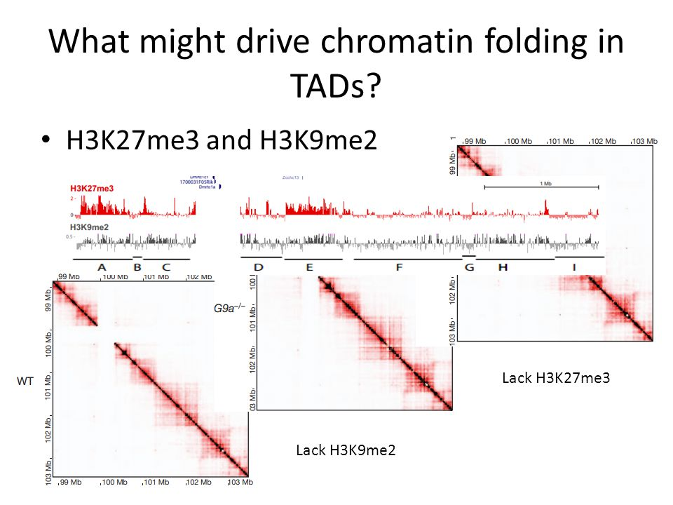 What might drive chromatin folding in TADs H3K27me3 and H3K9me2 Lack H3K9me2 Lack H3K27me3