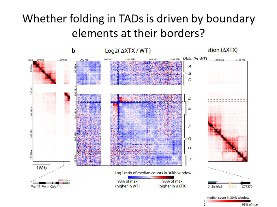 Whether folding in TADs is driven by boundary elements at their borders