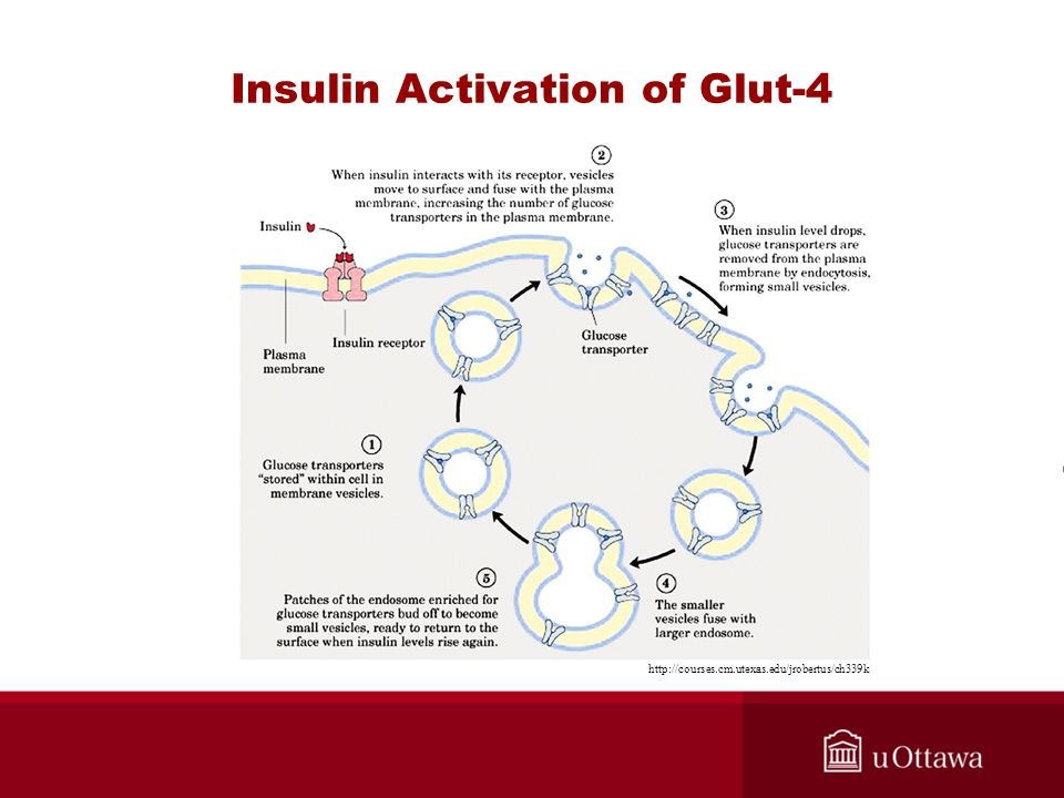 Insulin Activation of Glut-4 http://courses.cm.utexas.edu/jrobertus/ch339k