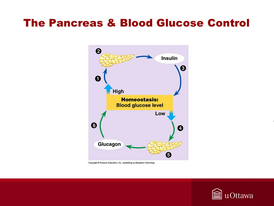 The Pancreas & Blood Glucose Control