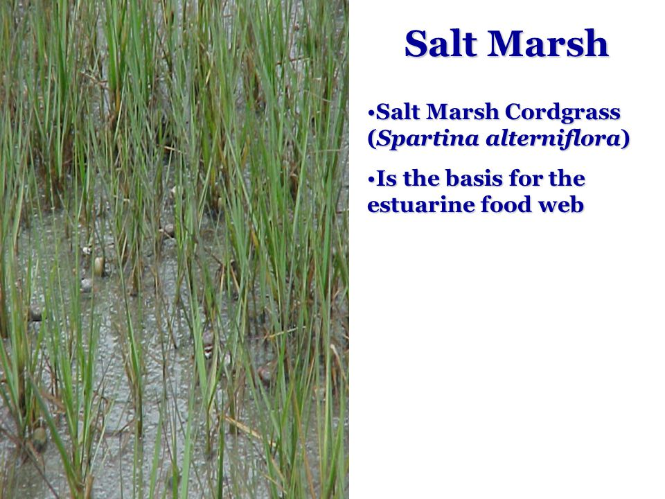 Salt Marsh Salt Marsh Cordgrass (Spartina alterniflora)Salt Marsh Cordgrass (Spartina alterniflora) Is the basis for the estuarine food webIs the basis for the estuarine food web