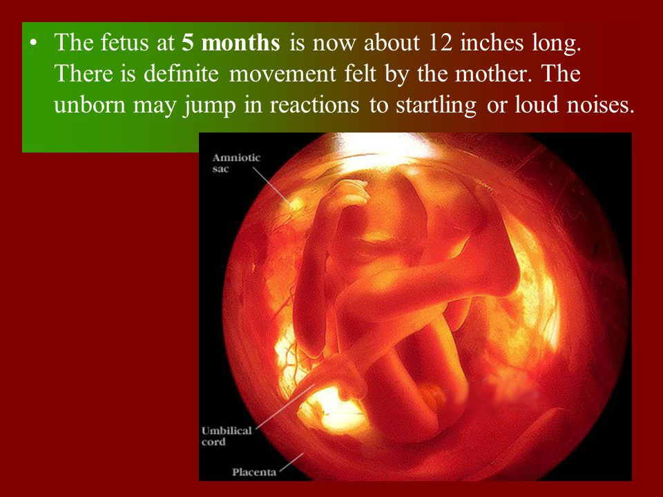 The fetus at 5 months is now about 12 inches long. There is definite movement felt by the mother. The unborn may jump in reactions to startling or lou
