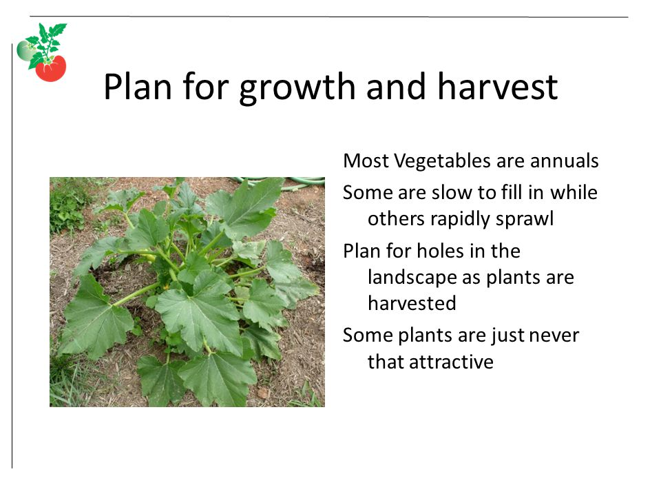 Plan for growth and harvest Most Vegetables are annuals Some are slow to fill in while others rapidly sprawl Plan for holes in the landscape as plants are harvested Some plants are just never that attractive