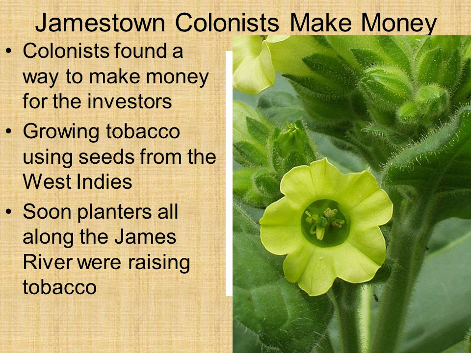 Jamestown Colonists Make Money Colonists found a way to make money for the investors Growing tobacco using seeds from the West Indies Soon planters all along the James River were raising tobacco