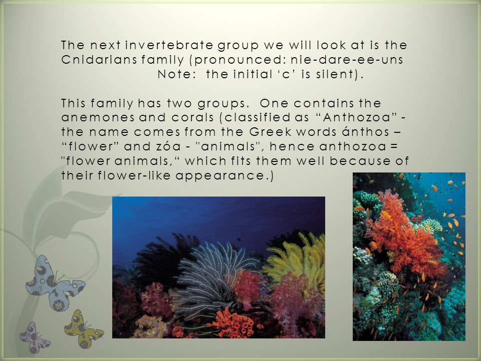 The other members of the Cnidarians family are the jelly fish.