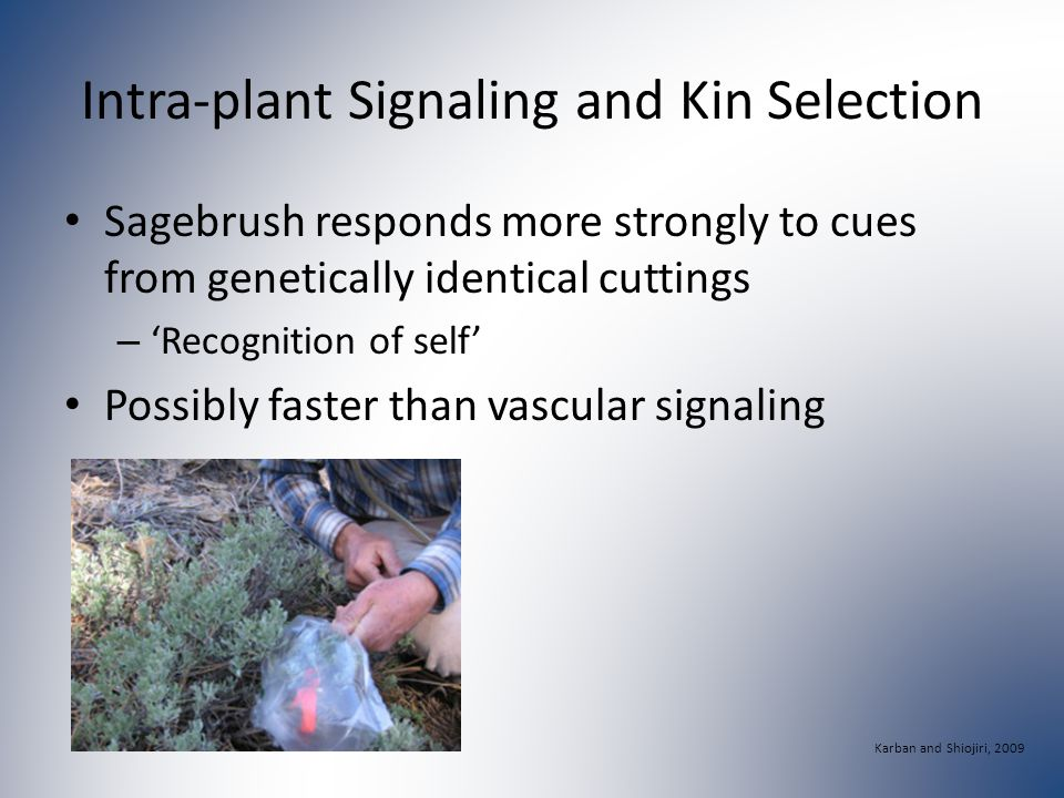 Intra-plant Signaling and Kin Selection Sagebrush responds more strongly to cues from genetically identical cuttings – 'Recognition of self' Possibly faster than vascular signaling Karban and Shiojiri, 2009