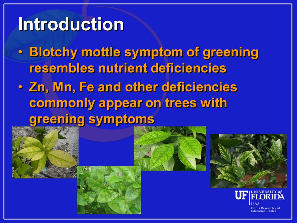 Introduction Blotchy mottle symptom of greening resembles nutrient deficiencies Zn, Mn, Fe and other deficiencies commonly appear on trees with greening symptoms Blotchy mottle symptom of greening resembles nutrient deficiencies Zn, Mn, Fe and other deficiencies commonly appear on trees with greening symptoms