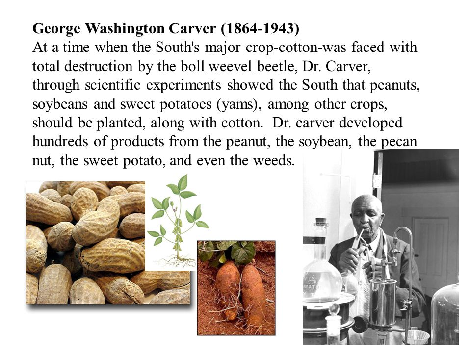 George Washington Carver (1864-1943) At a time when the South s major crop-cotton-was faced with total destruction by the boll weevel beetle, Dr.