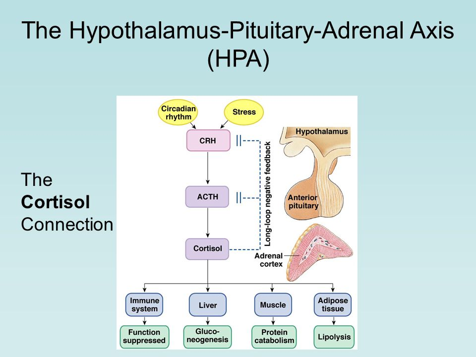 The Cortisol Connection The Hypothalamus-Pituitary-Adrenal Axis (HPA)