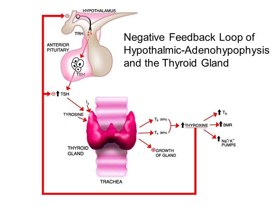 Negative Feedback Loop of Hypothalmic-Adenohypophysis and the Thyroid Gland