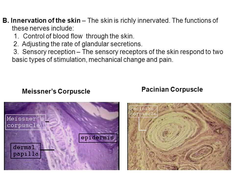 B. Innervation of the skin – The skin is richly innervated. The functions of these nerves include: 1. Control of blood flow through the skin. 2. Adjus