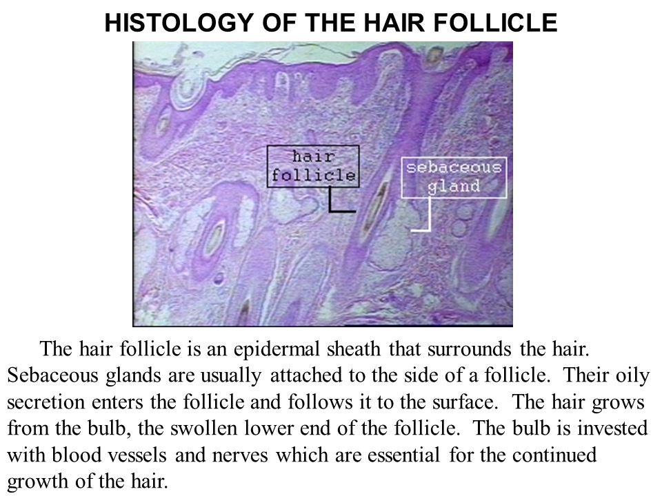 The hair follicle is an epidermal sheath that surrounds the hair. Sebaceous glands are usually attached to the side of a follicle. Their oily secretio