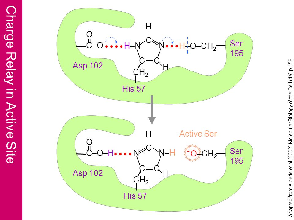Active Site Stabilizes Transition State Asp 102 His 57 Met 192 Gly 193 Asp 194Ser 195 Cys 191 Catalytic Triad Thr 219 Ser 218 Gly 216 Ser 217 Trp 215 Ser 214 Cys 220 Specificity Site Active Site Adapted from Dressler & Potter (1991) Discovering Enzymes, p.197