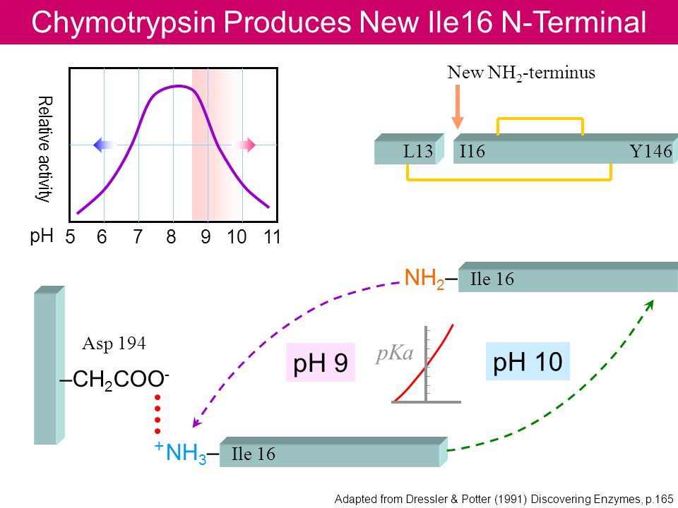 Chymotrypsin Produces New Ile16 N-Terminal I16L13Y146 Asp 194 –CH 2 COO - Ile 16 NH 2 – Ile 16 + NH 3 – 5 6 7 8 9 10 11 pH Relative activity pH 9 pH 10 pKa Adapted from Dressler & Potter (1991) Discovering Enzymes, p.165 New NH 2 -terminus