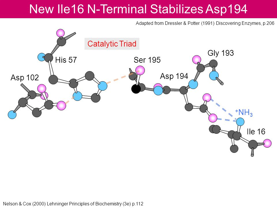 New Ile16 N-Terminal Stabilizes Asp194 Asp 102 His 57Ser 195 Asp 194 Gly 193 Ile 16 + NH 3 Catalytic Triad Adapted from Dressler & Potter (1991) Disco