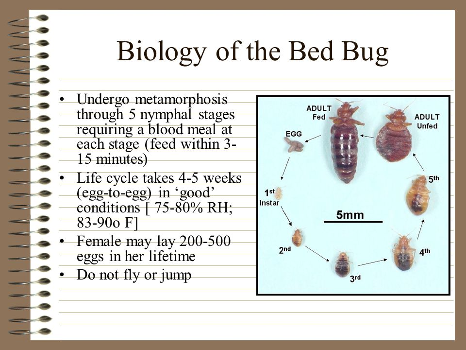 Biology of the Bed Bug Undergo metamorphosis through 5 nymphal stages requiring a blood meal at each stage (feed within 3- 15 minutes) Life cycle takes 4-5 weeks (egg-to-egg) in 'good' conditions [ 75-80% RH; 83-90o F] Female may lay 200-500 eggs in her lifetime Do not fly or jump
