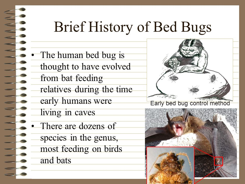 Brief History of Bed Bugs The human bed bug is thought to have evolved from bat feeding relatives during the time early humans were living in caves There are dozens of species in the genus, most feeding on birds and bats Early bed bug control method