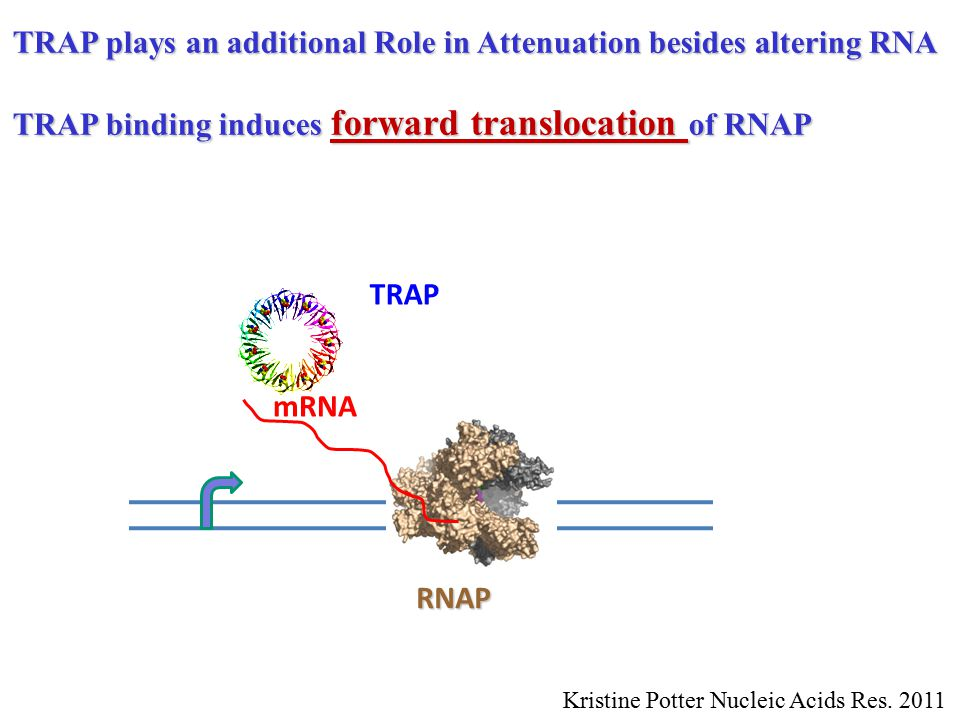 RNAP TRAP mRNA TRAP plays an additional Role in Attenuation besides altering RNA TRAP binding induces forward translocation of RNAP Kristine Potter Nucleic Acids Res.