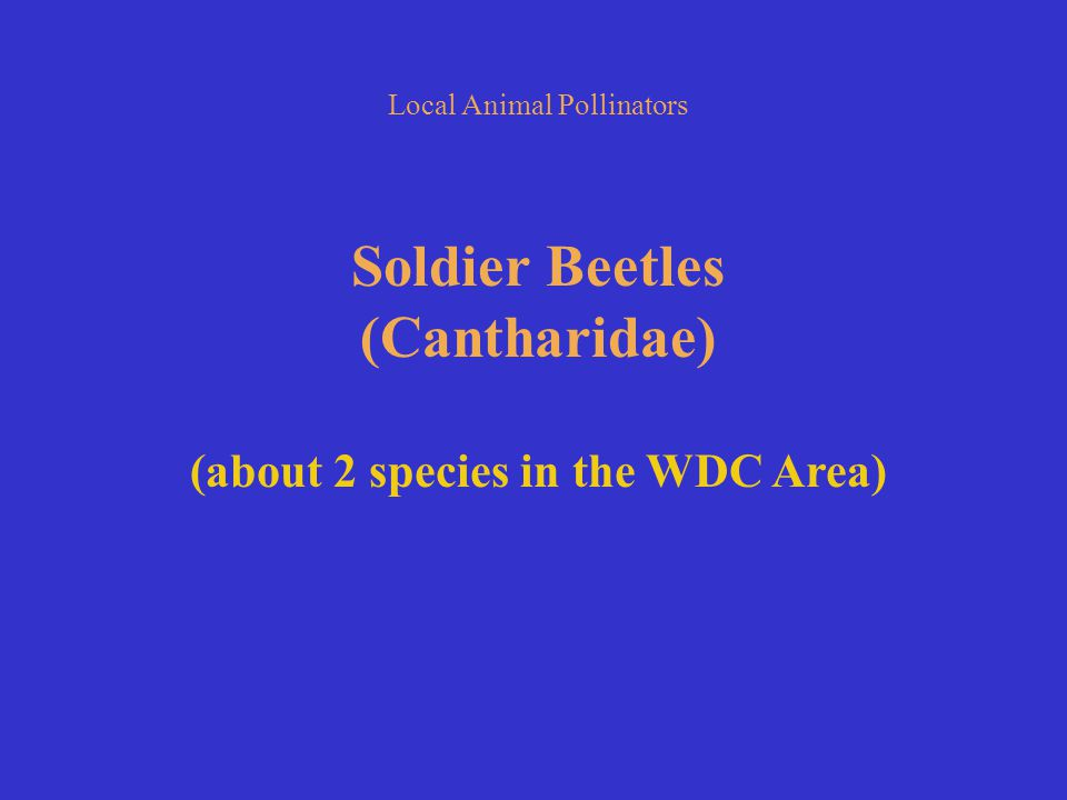 Soldier Beetles (Cantharidae) (about 2 species in the WDC Area)