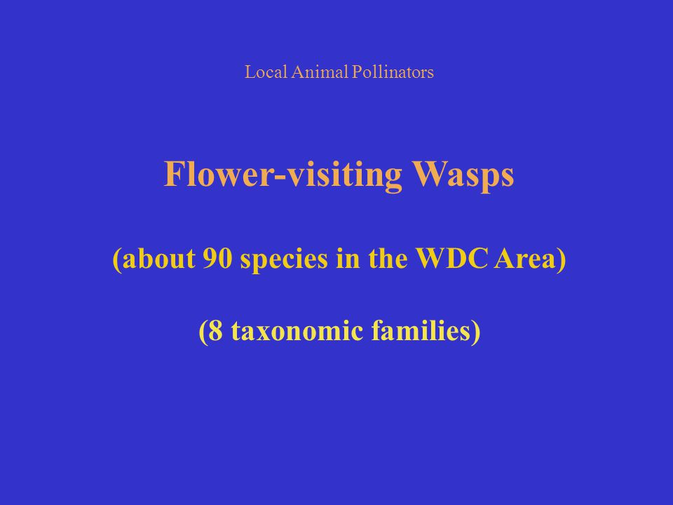Local Animal Pollinators Flower-visiting Wasps (about 90 species in the WDC Area) (8 taxonomic families)