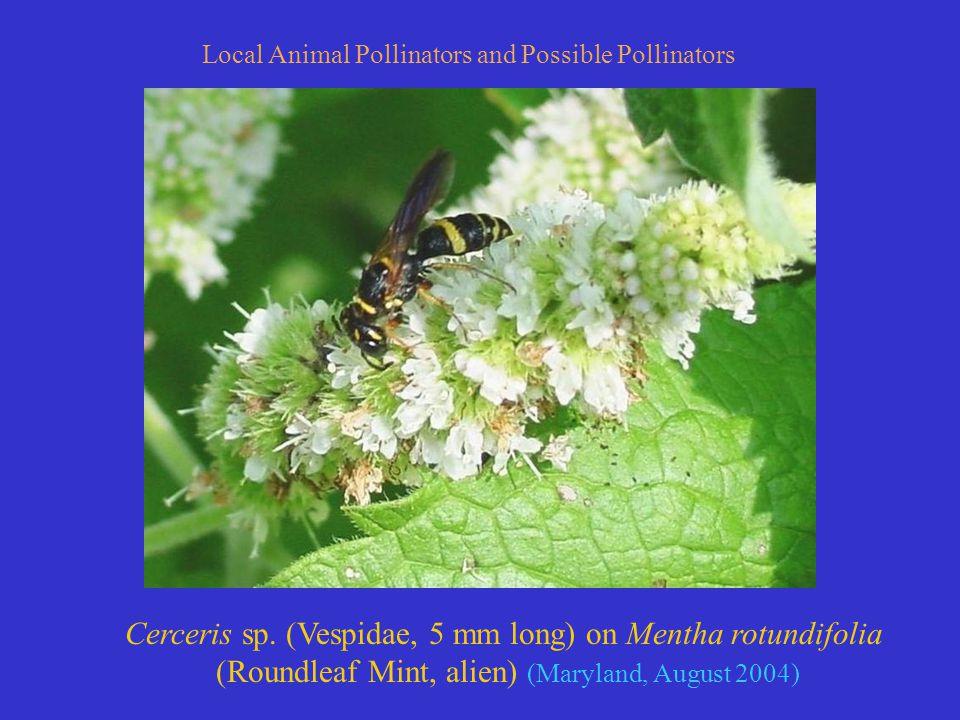 Local Animal Pollinators and Possible Pollinators Cerceris sp.