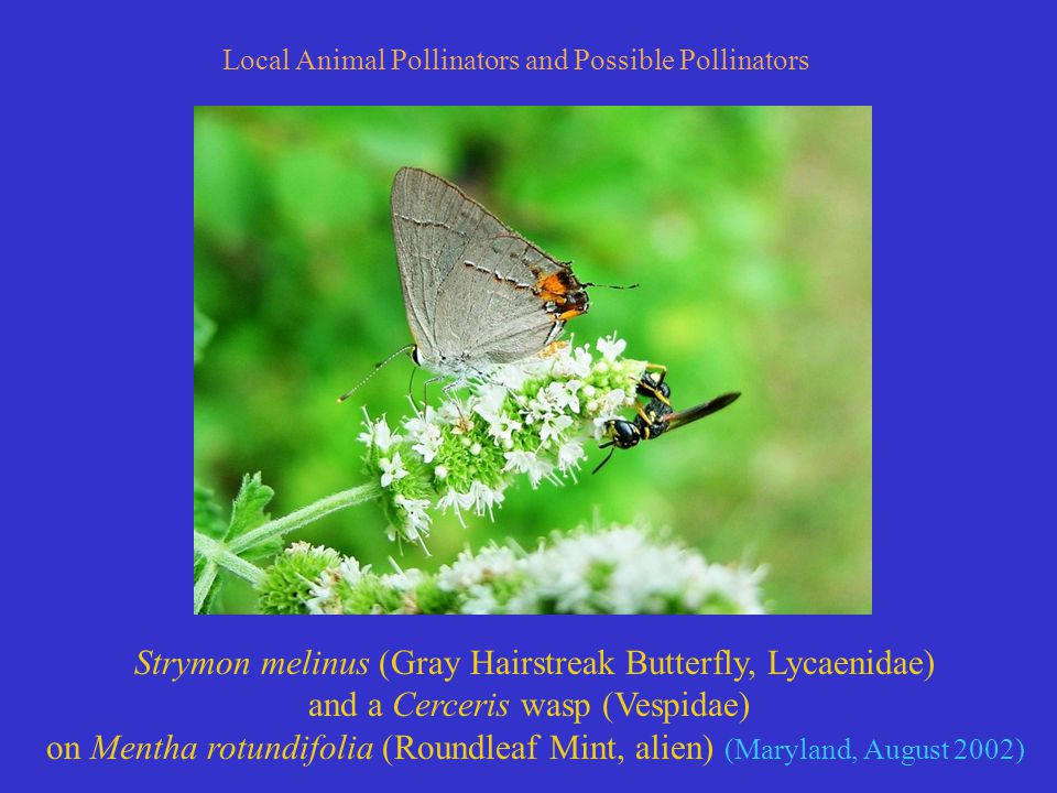 Strymon melinus (Gray Hairstreak Butterfly, Lycaenidae) and a Cerceris wasp (Vespidae) on Mentha rotundifolia (Roundleaf Mint, alien) (Maryland, August 2002) Local Animal Pollinators and Possible Pollinators