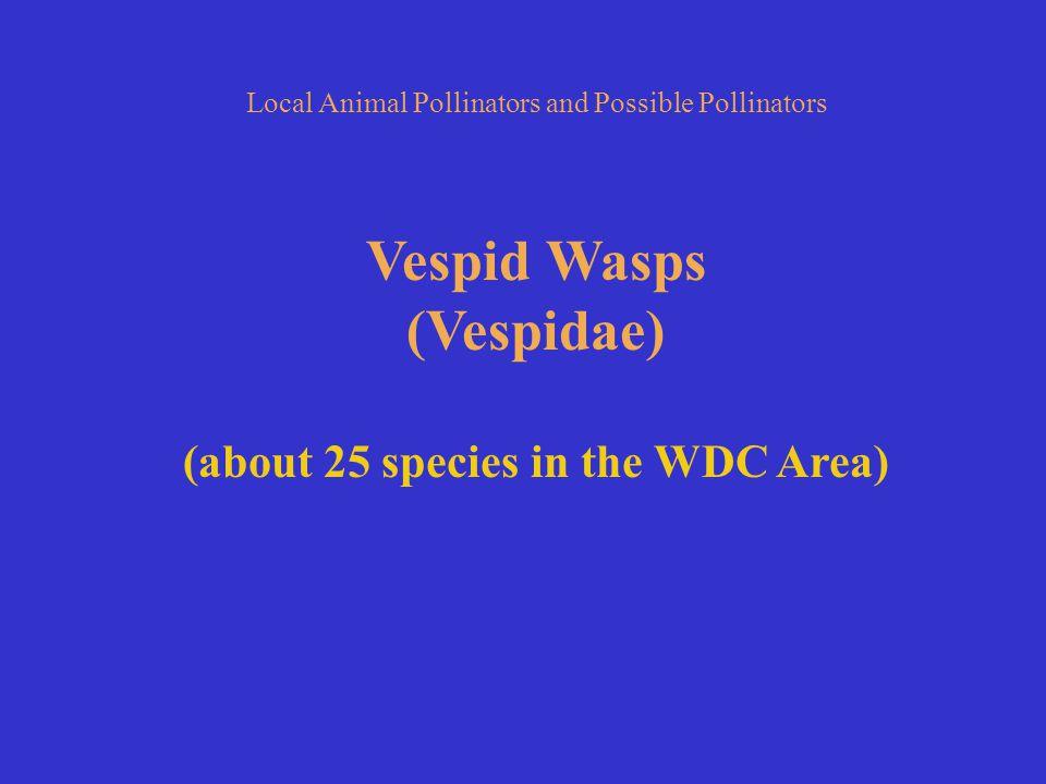 Vespid Wasps (Vespidae) (about 25 species in the WDC Area)