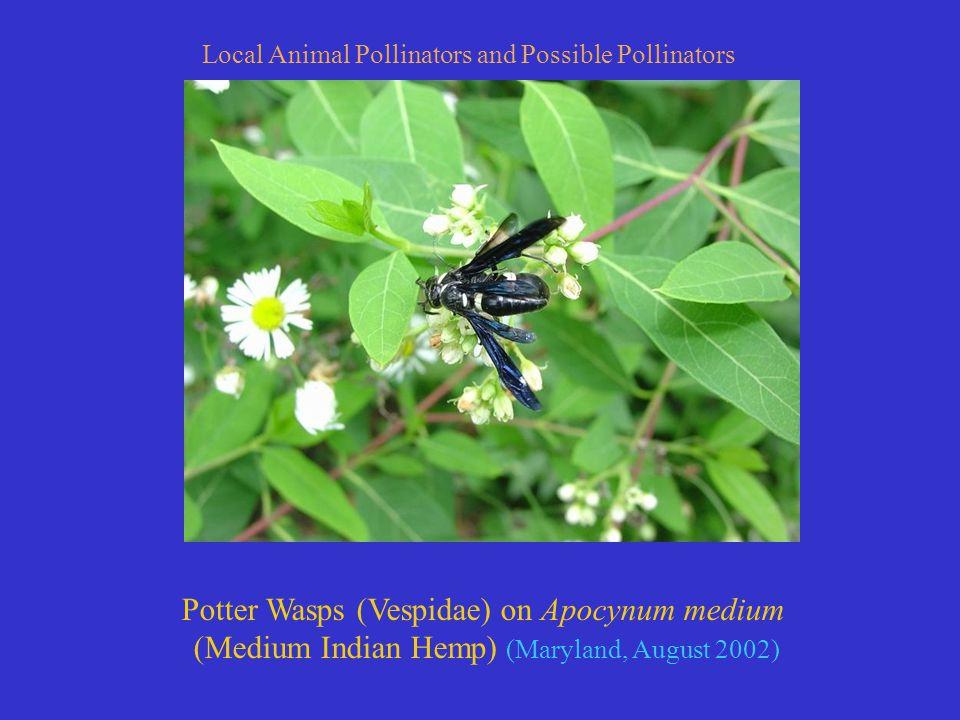 Potter Wasps (Vespidae) on Apocynum medium (Medium Indian Hemp) (Maryland, August 2002) Local Animal Pollinators and Possible Pollinators