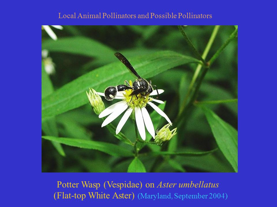 Potter Wasp (Vespidae) on Aster umbellatus (Flat-top White Aster) (Maryland, September 2004) Local Animal Pollinators and Possible Pollinators