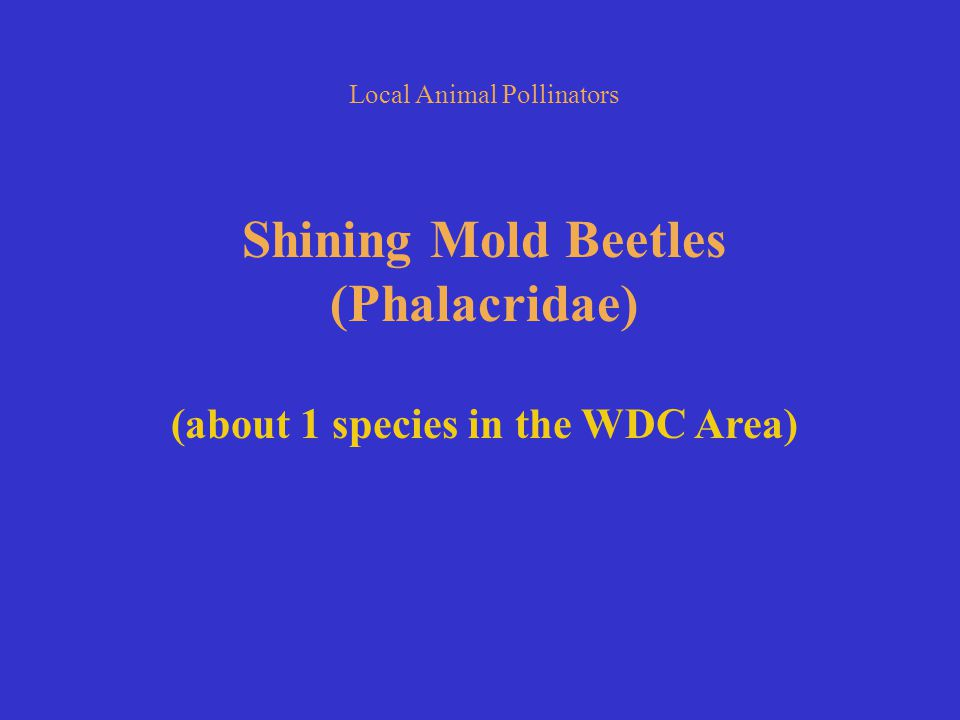 Local Animal Pollinators Shining Mold Beetles (Phalacridae) (about 1 species in the WDC Area)