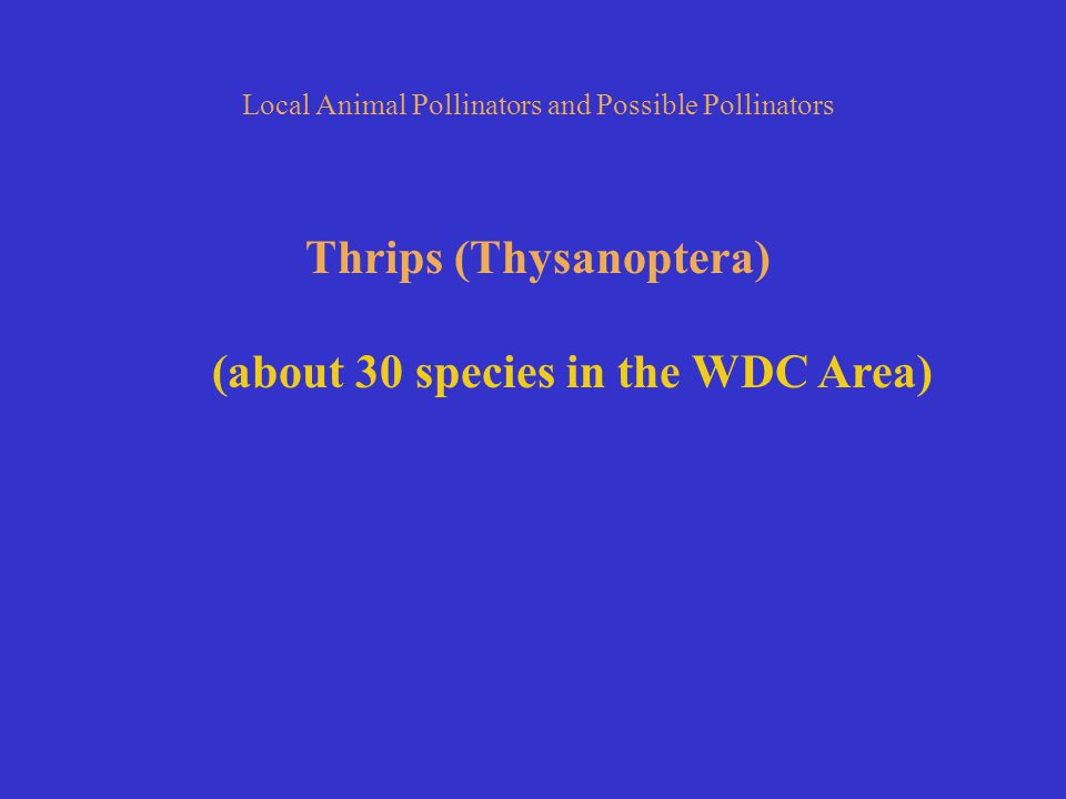 Thrips (Thysanoptera) (about 30 species in the WDC Area)