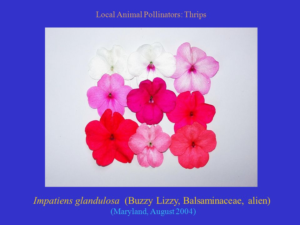 Local Animal Pollinators: Thrips Impatiens glandulosa (Buzzy Lizzy, Balsaminaceae, alien) (Maryland, August 2004)
