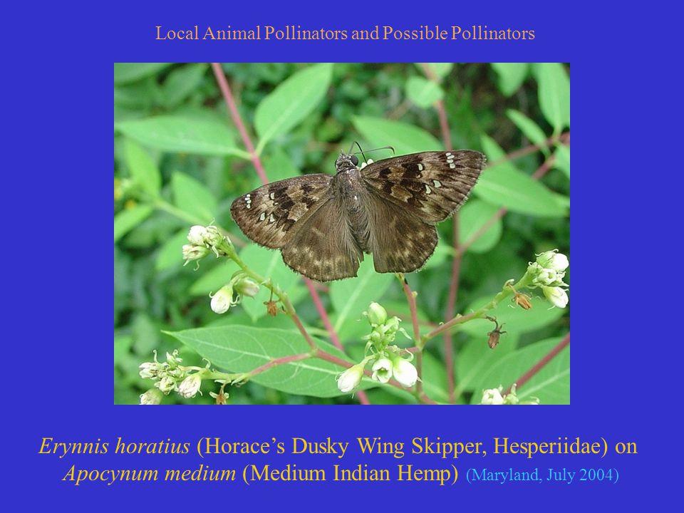 Local Animal Pollinators and Possible Pollinators Erynnis horatius (Horace's Dusky Wing Skipper, Hesperiidae) on Apocynum medium (Medium Indian Hemp) (Maryland, July 2004)