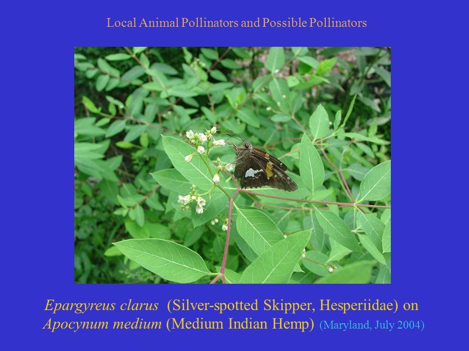 Epargyreus clarus (Silver-spotted Skipper, Hesperiidae) on Apocynum medium (Medium Indian Hemp) (Maryland, July 2004) Local Animal Pollinators and Possible Pollinators