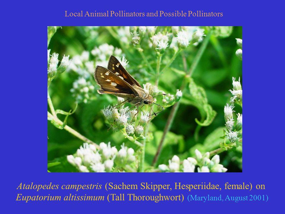 Atalopedes campestris (Sachem Skipper, Hesperiidae, female) on Eupatorium altissimum (Tall Thoroughwort) (Maryland, August 2001) Local Animal Pollinators and Possible Pollinators