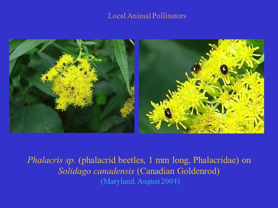 Local Animal Pollinators Phalacris sp.