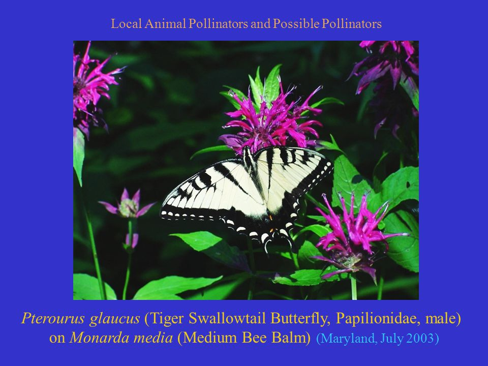 Pterourus glaucus (Tiger Swallowtail Butterfly, Papilionidae, male) on Monarda media (Medium Bee Balm) (Maryland, July 2003) Local Animal Pollinators and Possible Pollinators