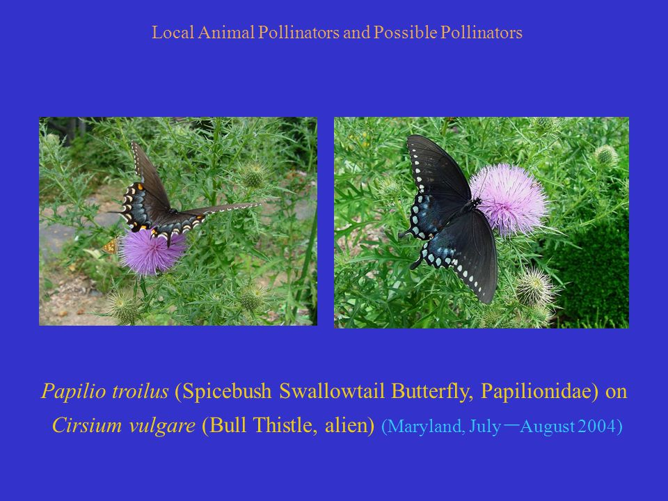 Papilio troilus (Spicebush Swallowtail Butterfly, Papilionidae) on Cirsium vulgare (Bull Thistle, alien) (Maryland, July – August 2004) Local Animal Pollinators and Possible Pollinators