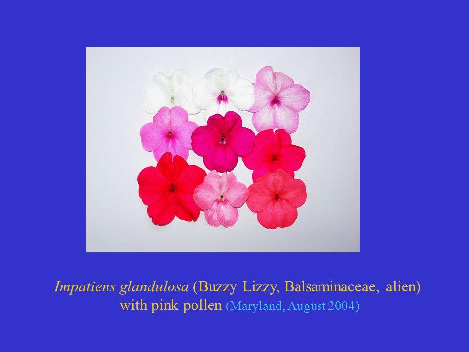 Impatiens glandulosa (Buzzy Lizzy, Balsaminaceae, alien) with pink pollen (Maryland, August 2004)