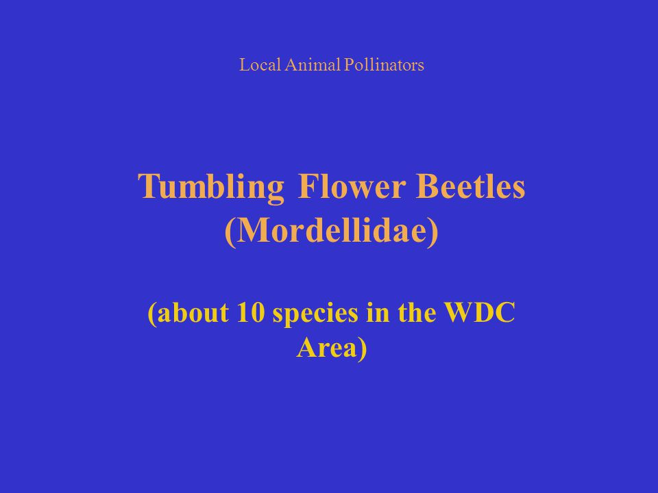 Local Animal Pollinators Tumbling Flower Beetles (Mordellidae) (about 10 species in the WDC Area)