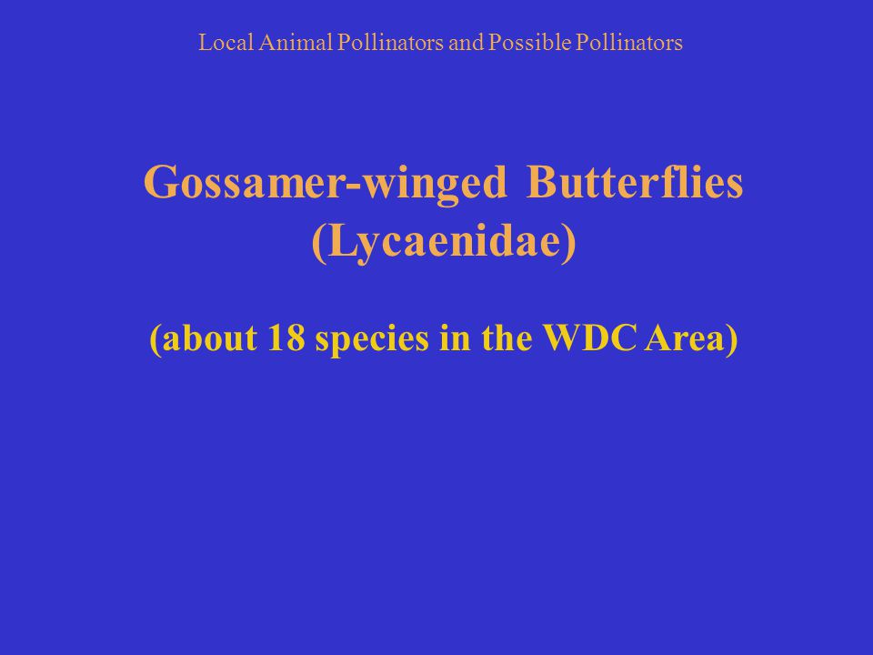 Gossamer-winged Butterflies (Lycaenidae) (about 18 species in the WDC Area) Local Animal Pollinators and Possible Pollinators
