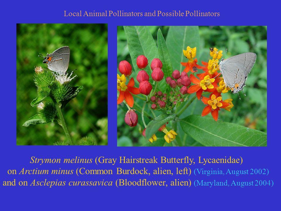 Strymon melinus (Gray Hairstreak Butterfly, Lycaenidae) on Arctium minus (Common Burdock, alien, left) (Virginia, August 2002) and on Asclepias curassavica (Bloodflower, alien) (Maryland, August 2004) Local Animal Pollinators and Possible Pollinators