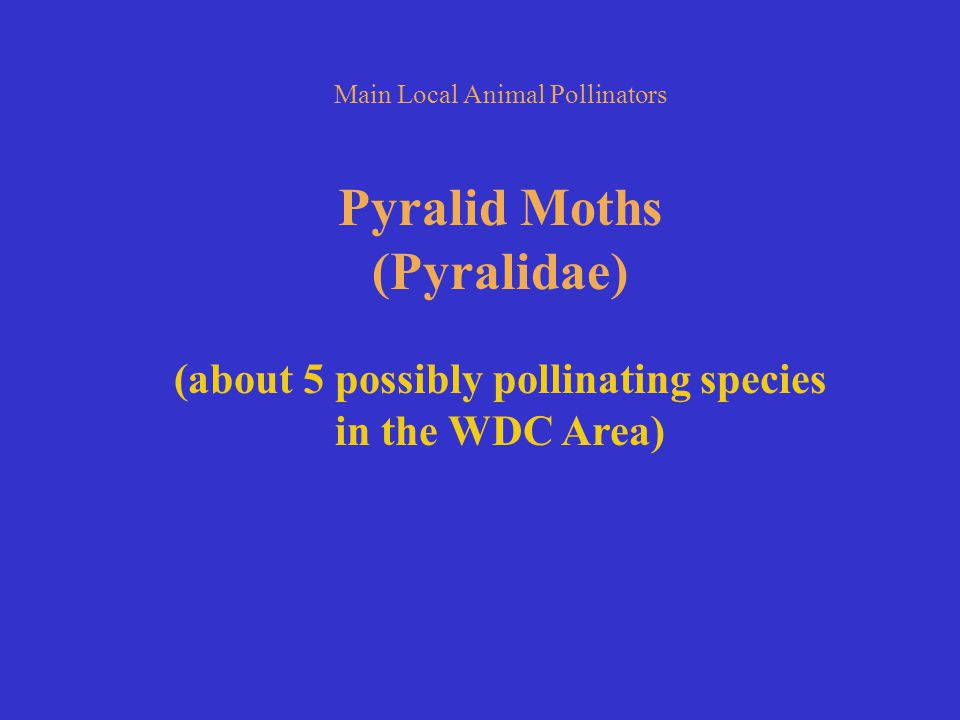 Main Local Animal Pollinators Pyralid Moths (Pyralidae) (about 5 possibly pollinating species in the WDC Area)