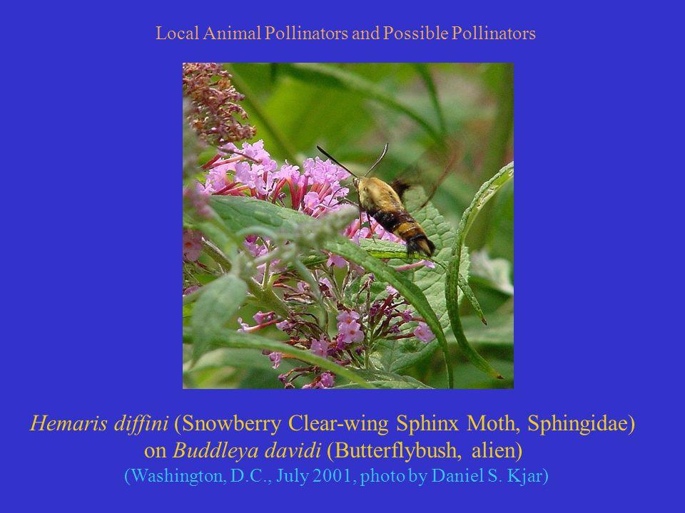 Hemaris diffini (Snowberry Clear-wing Sphinx Moth, Sphingidae) on Buddleya davidi (Butterflybush, alien) (Washington, D.C., July 2001, photo by Daniel S.