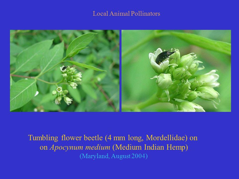 Local Animal Pollinators Tumbling flower beetle (4 mm long, Mordellidae) on on Apocynum medium (Medium Indian Hemp) (Maryland, August 2004)
