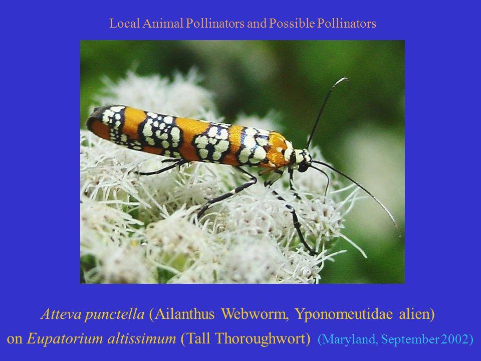Atteva punctella (Ailanthus Webworm, Yponomeutidae alien) on Eupatorium altissimum (Tall Thoroughwort) (Maryland, September 2002) Local Animal Pollinators and Possible Pollinators