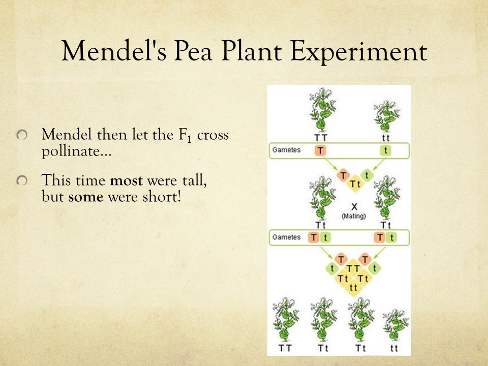 Mendel's Pea Plant Experiment Mendel then let the F 1 cross pollinate… This time most were tall, but some were short!